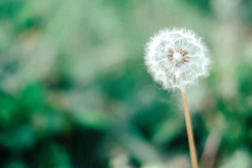 Grass Plant Plants Plants And Flowers Plants 🌱 Planting Dandelion