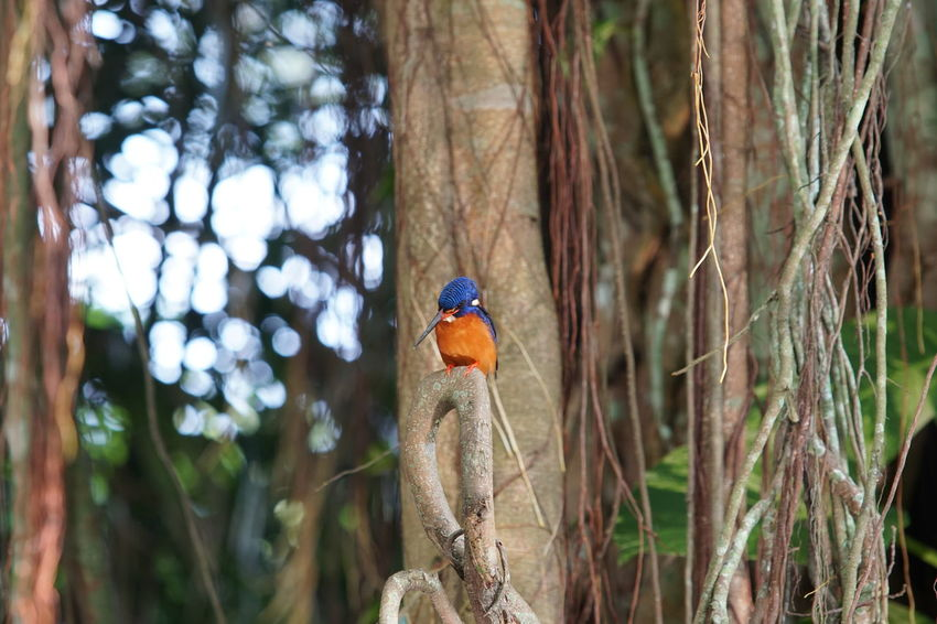 Close up of a beautiful blue-eared kingfisher stays on branch of the big tree Animal Themes Animal Wildlife Animals In The Wild Beauty In Nature Bird Day Focus On Foreground Kingfisher Nature No People One Animal Outdoors Perching Tree Tree Trunk