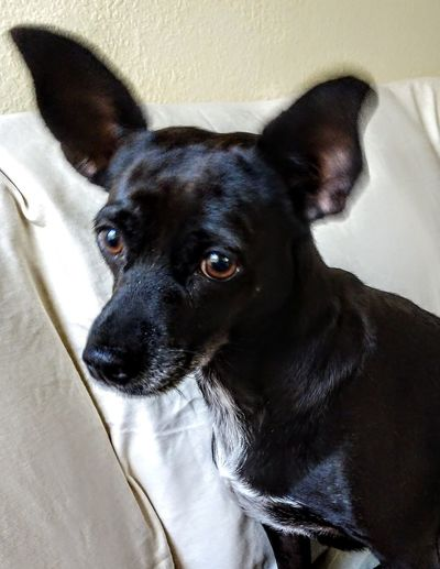 moving her antennas... Cherie Ladouce Thesoulfullook Pets Portrait Dog Looking At Camera Black Color Close-up Canine Mixed-breed Dog My Best Photo