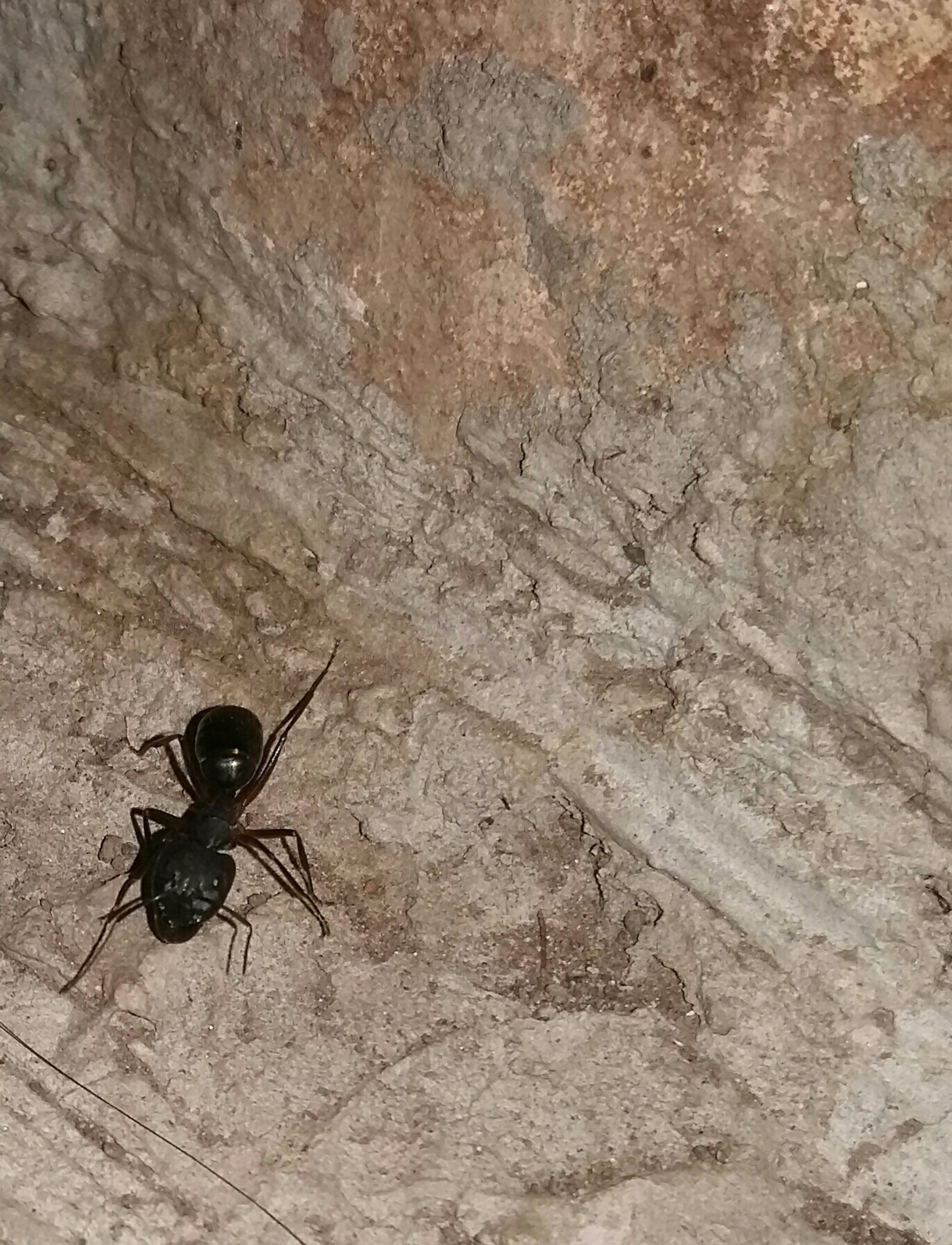 insect, animal themes, animals in the wild, one animal, wildlife, close-up, full length, high angle view, spider, outdoors, day, nature, zoology, textured, two animals, black color, no people, wall - building feature, focus on foreground, ant