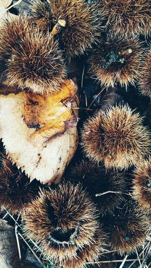 Chestnut hulls Autumnal Fruits Autumn Colors Vegetables & Fruits Nature_collection Nature Photography Flowers,Plants & Garden Naturephotography Castanea Mollisima Chestnut Hulls