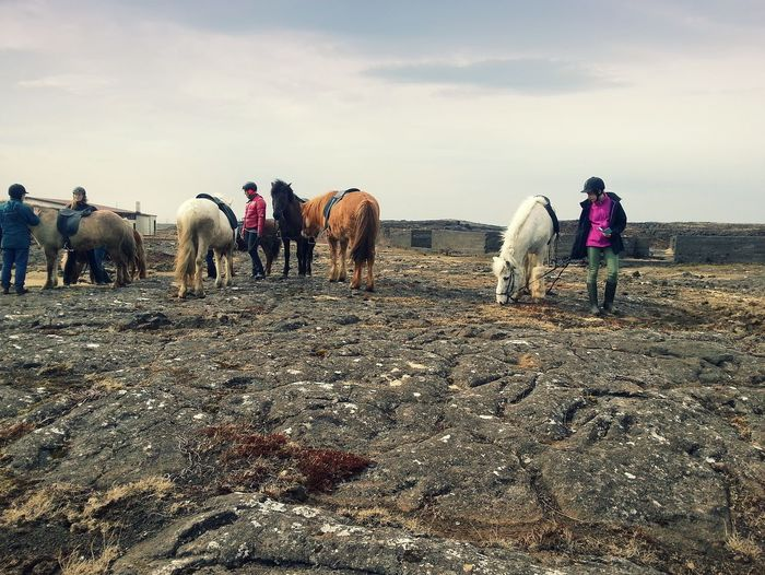 Horses on a lava flow... Iceland Pony Lava
