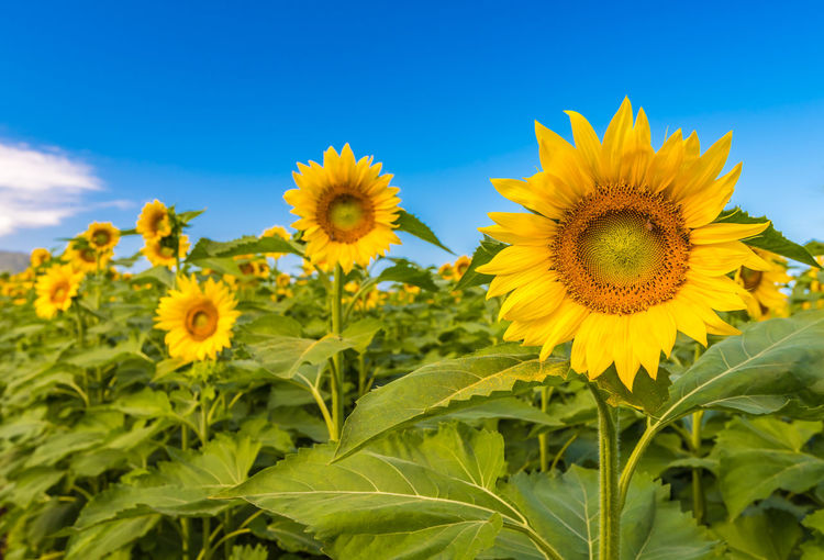Hawaii Sunflower Agriculture Beauty In Nature Blooming Close-up Day Field Flower Flower Head Fragility Freshness Green Color Growth Leaf Nature No People Outdoors Petal Plant Sky Sunflower Sunflowers Yellow