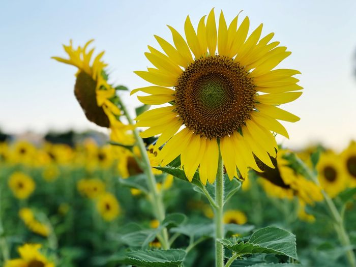Sunflowers field summer time Yellow Flower Flowering Plant Plant Growth Flower Head Beauty In Nature Sunflower Freshness Fragility Inflorescence Vulnerability  Pollen Petal Nature Focus On Foreground Close-up Sky Field Day