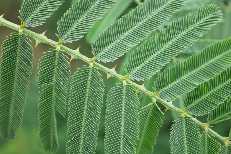 Thorn grass Green Color Growth Leaf Plant Plant Part Close-up Nature No People Beauty In Nature Day Backgrounds Full Frame Natural Pattern Outdoors Focus On Foreground Pattern Tranquility Fragility Tree Botany Leaves Palm Leaf Thorn Grass