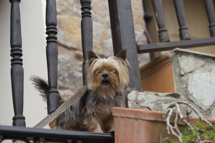 Yorkshire terrier Asturias Cut Rural SPAIN Stairs Sunny Winter Yorkshire Terrier Animal Themes Close-up Cute Day Dog Domestic Animals Mammal No People One Animal Pets Pillarno Portrait Small Village
