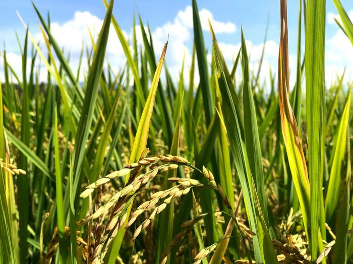 Growth Plant Field Green Color Crop  Cereal Plant Autumn Mood Farm Close-up Rice Sky Rice - Cereal Plant