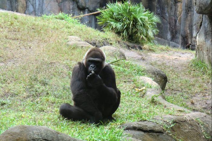 Gorillas Nature_collection EyeEm Best Shots - Nature EyeEm Nature Lover