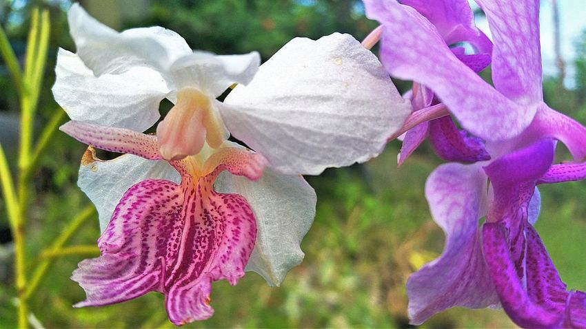 Orchids Flower Petal Beauty In Nature Fragility Nature Growth Plant Blooming Outdoors Close-up No People Flower Head