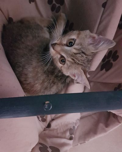 Domestic Animals Cute Indoors  Pets Kitten Domestic Cat Looking At Camera