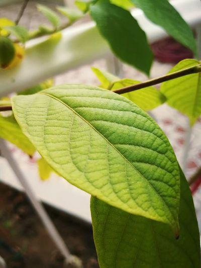 #Jeddah #leaf #grean