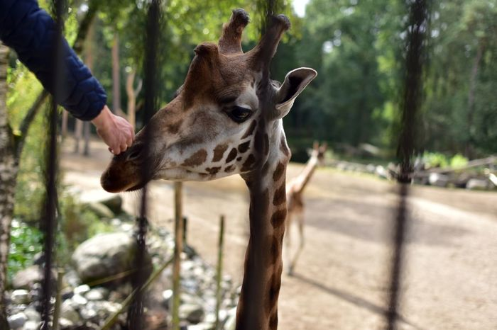 Touch Touch Of Love One Animal Human Hand Animal Themes Human Body Part Mammal One Person Tree Animal Wildlife Giraffe Animals In The Wild Nature Outdoors
