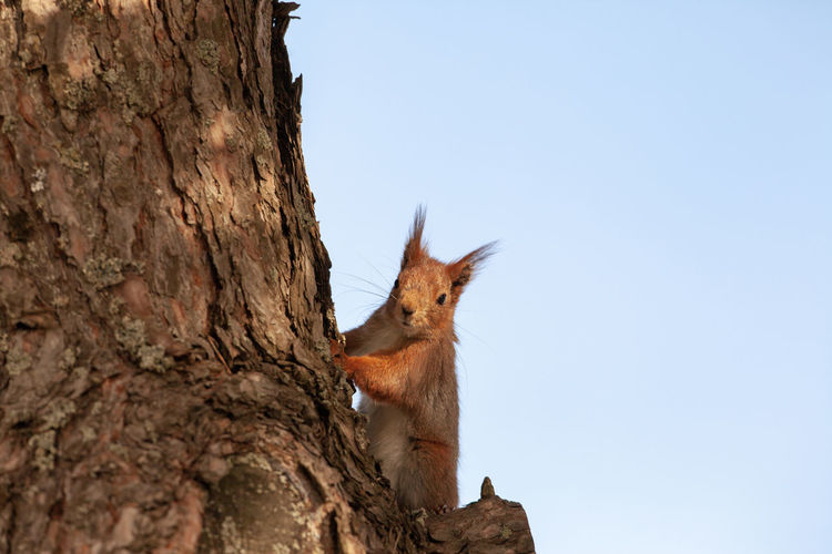 Low angle view of squirrel on tree trunk against sky