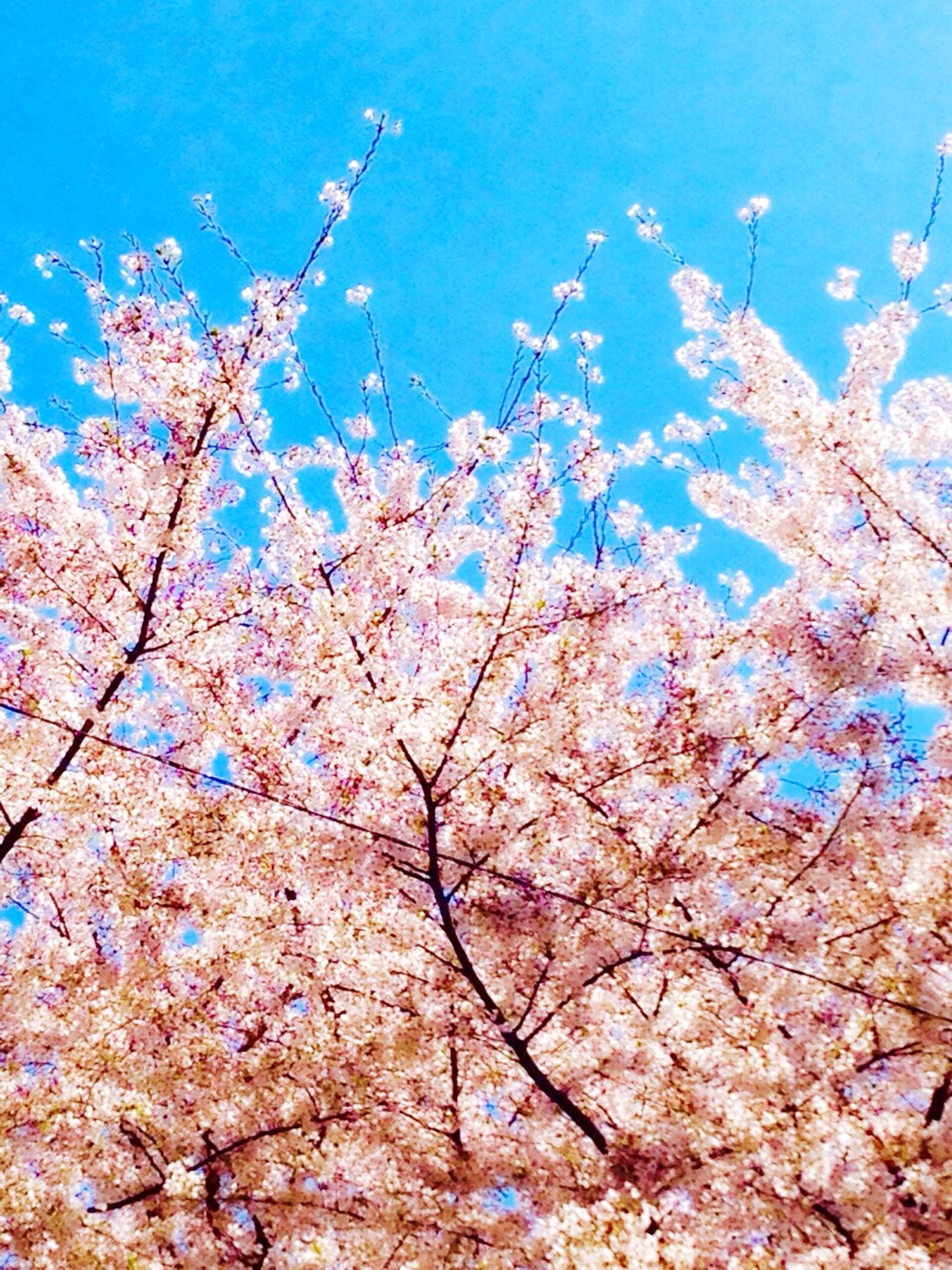 flower, tree, low angle view, branch, blue, growth, nature, beauty in nature, clear sky, fragility, freshness, cherry blossom, blossom, blooming, day, sky, cherry tree, outdoors, sunlight, pink color