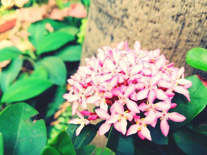 MONSOONMAGIC Flower Head Flower Leaf Pink Color Petal Close-up Plant