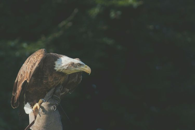 Close-Up Side View Of An Eagle Against Blurred Background