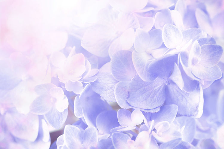 the sweet hydrangea flowers on a white background Backgrounds Beauty In Nature Bunch Of Flowers Close-up Day Flower Flower Head Flowering Plant Fragility Freshness Full Frame Growth Hydrangea Inflorescence Lilac Nature No People Outdoors Petal Plant Purple Softness Vulnerability