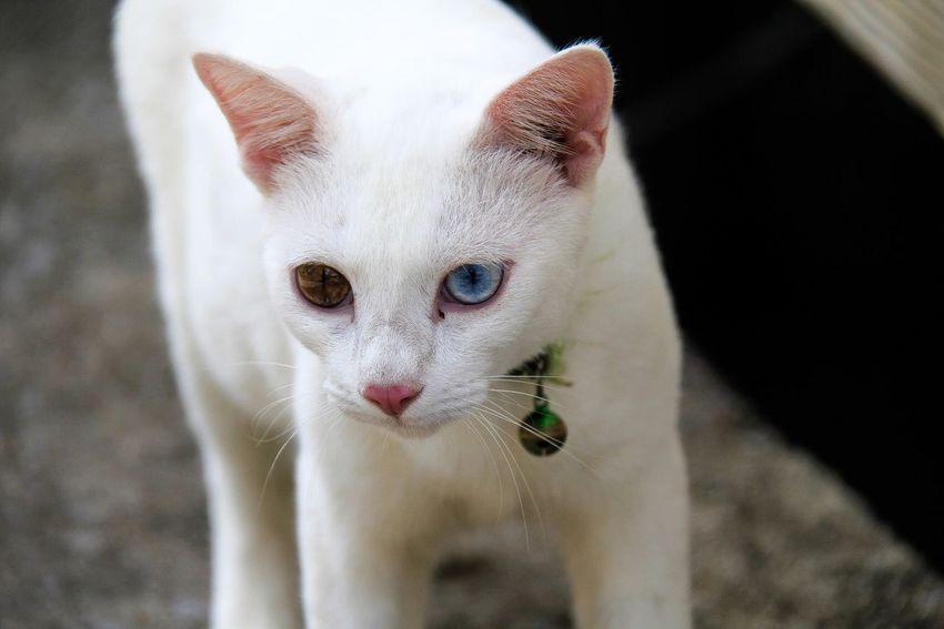 Cat Incredible Colour Eye Thailand Thai