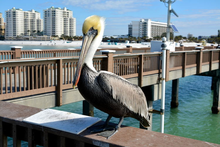 Pelican perching on railing by sea