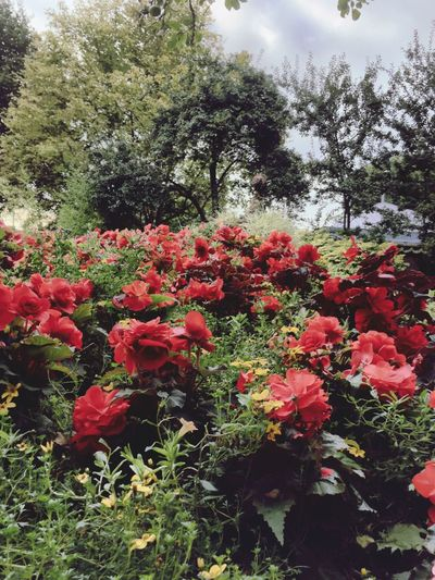 Remote Grass Focus On Foreground Eye4photography  Flower Growth Beauty In Nature Red Plant Nature Botany Tree In Bloom Vibrant Color Day Garden Blossom Petal Outdoors