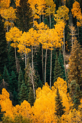 High angle view of yellow autumn trees in forest