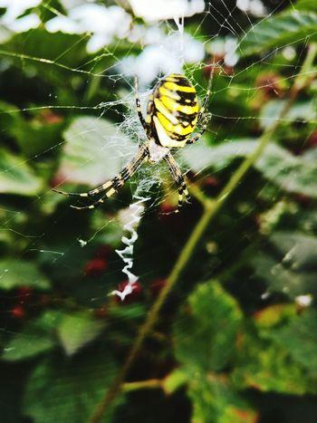 Maximum Closeness Spider Web One Animal Spider Nature