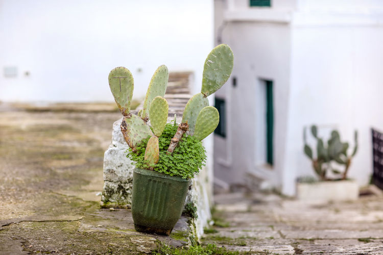 Ostuni, Italy Plant Growth Focus On Foreground No People Outdoors Container Architecture Building Exterior Beauty In Nature Building House Potted Plant Ostuni Cactus Sky Succulent Plant Street Day Village