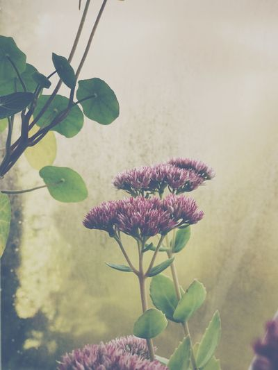 Plant Growth Flower Leaf Nature Fragility No People Beauty In Nature Petal Freshness Blooming Day Close-up Flower Head Outdoors Sky Beauty In Nature Fall Orpine Orpines Orpin Pink Color Backgrounds Wallpaper Agriculture