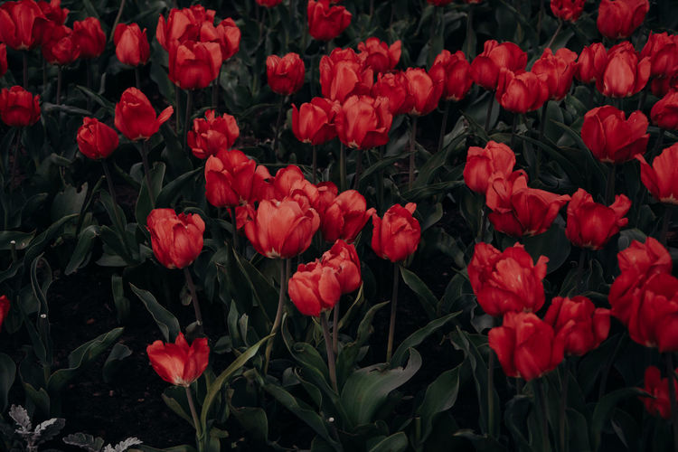 Tulips Tulip Red Flowers Flower Flowering Plant Plant Growth Beauty In Nature Fragility Vulnerability  Freshness Nature Petal Red Close-up No People Inflorescence Outdoors Flower Head Plant Part Leaf Full Frame Field Spring Flowerbed Leaves