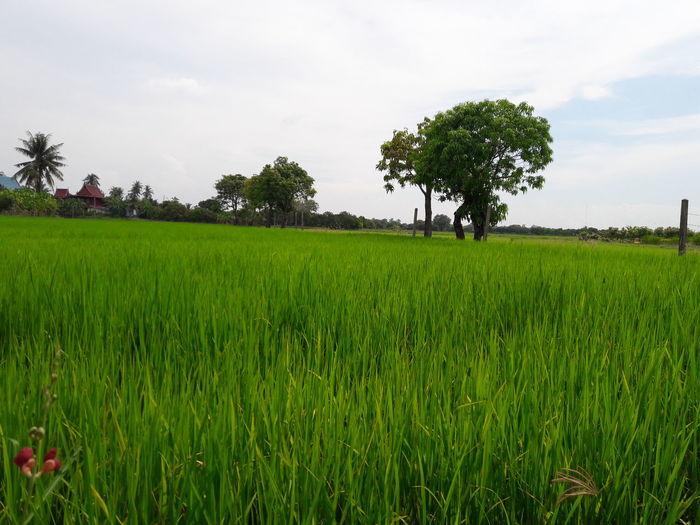 Green rice Tree