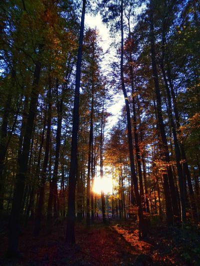 Früher Sonnenuntergang im November November Sundown Before Sundown Nature Photography Fall Colors Betterlandscapes Landscapes Beliebte Fotos Warm Temperature Clear Sky Autumn Forest Special Moments Extraordinary Light Spessart Forest Germany🇩🇪 Tree Tree Area Forest Autumn WoodLand Leaf Sky