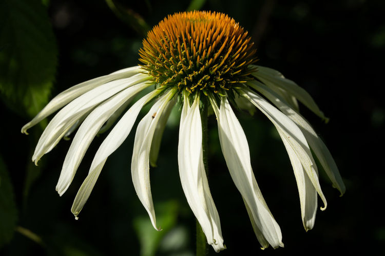 Coneflower (Echinacea purpurea), flowers of summer Flower Flowering Plant Close-up Fragility Vulnerability  Growth Freshness Beauty In Nature Petal Plant Inflorescence Flower Head Focus On Foreground No People Nature Garden Flora Plant Blooming Blossom Bloom Blooming Flower Summertime Pollen Outdoors Coneflower Echinacea Echinacea Purpurea