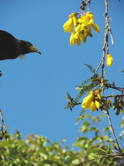Paint The Town Yellow EyeEm Selects Blue Sky Clear Sky No People Outdoors Tree Day Nature Bird Close-up Yellow Nz Native Tree The Week On EyeEm Sunshine Flora Colour Kowhai Freshness Springtime Nature Animals In The Wild Tui Nz Native Bird