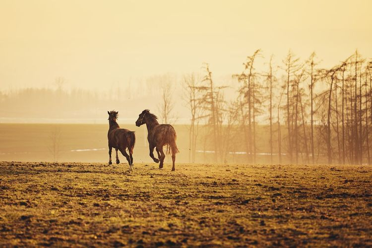 Two horses on field against landscape at golden sunset, Czech Republic Animal Themes Animal Horse Field Pasture Meadow Landscape Countryside Agriculture Sunset Moody Sky Golden Hour Nature Beauty In Nature Beautiful Livestock Togetherness Happiness Farm Running Motion on the move Cute Playing Love