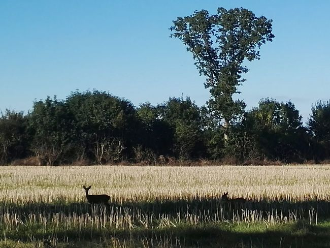 Tree Sky Nature No People Outdoors Clear Sky Reh Bambi Forest Animal German Plant Life Two Deer First Eyeem Photo