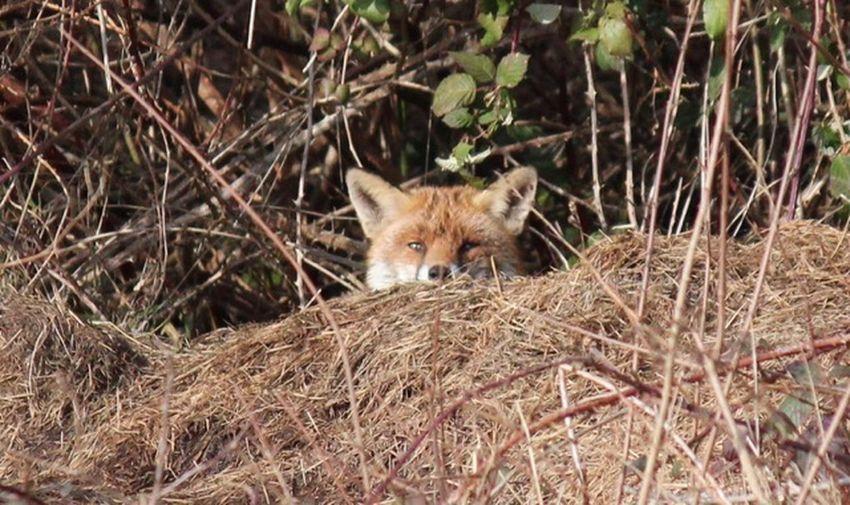 Fox One Animal Animal Themes Animal Mammal Plant Animals In The Wild Land