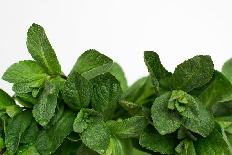 Fresh mint on white background with dew drops Healthy Eating Food Preparation Vegan Food Dew Copy Space Ingredient Summer Vitamin Minimalism Vegetarian Dieting Mint Green Color Plant Part Leaf Close-up No People Studio Shot Freshness Copy Space Food Wellbeing Still Life Organic Plant