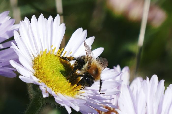 Bee Flower Meadow Meadow Flowers Meadowsprings Bienen  Biene Bienen Bei Der Arbeit Bieneaufblume🌾 Bee 🐝 Bees And Flowers Bees At Work Bees Flower Wildlife Nature Bees Photography Gänseblümchen Daisy Flower Daisy Blümchen  Spring Spring 2016 Fresh On Eyeem  Frühling Frühlingsgefühle The Essence Of Summer Maximum Closeness