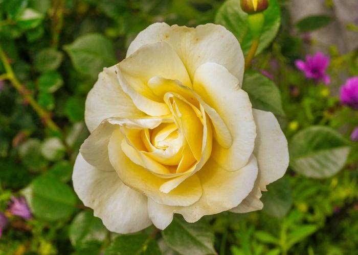 Close-up of rose flower