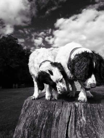 Dogs standing on tree stump against cloudy sky