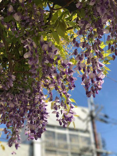 藤の花の季節に。 Flower Kyoto Purple
