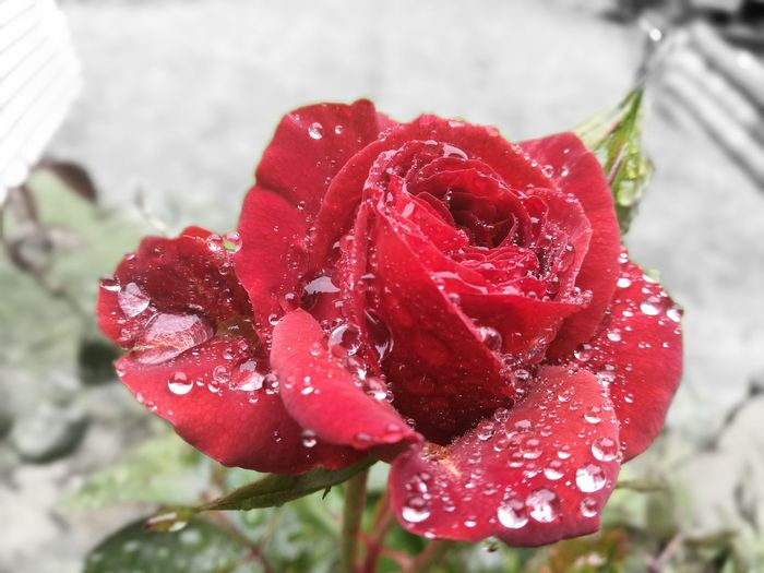 Amazing beautiful rose covered in raindrops Red Close-up Drops Of Rain On Leafs Leaf, Plant, Nature, Green, Philodendron Spring Time In New Zealand Beauty In Nature Roses🌹 Flower Focus On Foreground Nature No People Flower Head Outdoors Beauty In Nature Freshness Fragility Day