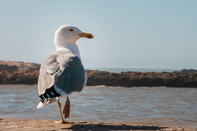 Meditation Achtsamkeit Sun Bird Animal Themes Vertebrate Animal Water Animal Wildlife Animals In The Wild One Animal Sea Seagull Sky Day No People Beauty In Nature Focus On Foreground Clear Sky Full Length Beak Sea Bird Avian Black-headed Gull Adult Animal