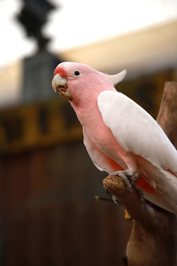 Pink Parrot Animal Themes Animal Bird Parrot Vertebrate Perching One Animal Cockatoo Focus On Foreground Pink Color Animal Wildlife No People Animals In The Wild Close-up Pets Day Branch Domestic Nature Indoors