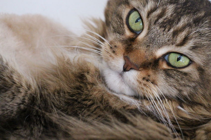 Animal Themes Close-up Domestic Animals Domestic Cat Feline Green Eyed Cat Longhaired Cats Looking At Camera Maine Coon Cat One Animal Pets Tabby Cats