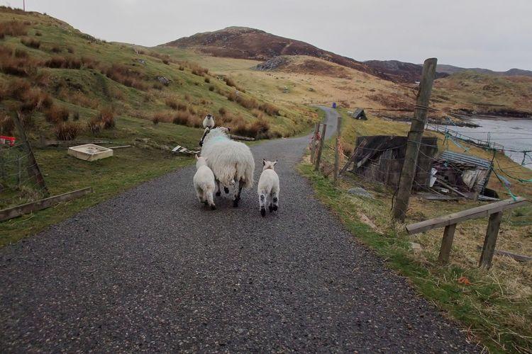 Crofting Domestic Animals Herbivorous Livestock Rural Living Rural Scene Sheep The Way Forward