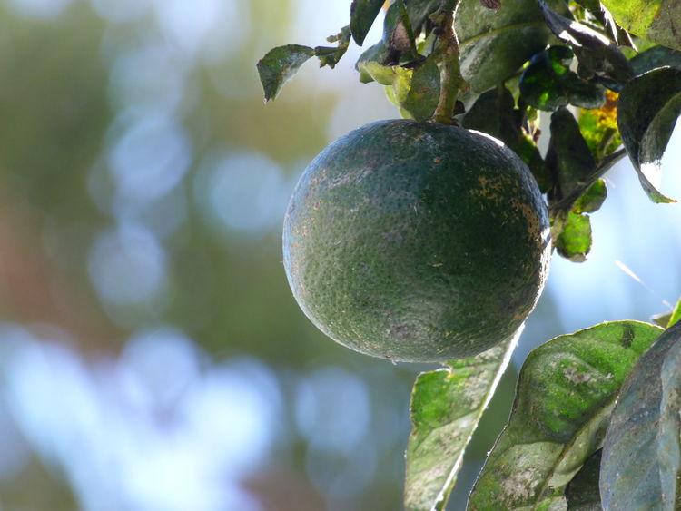 Close-up Freshness Fruit Nature Outdoors Ripening Fruit Tree