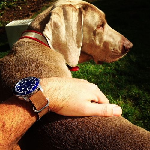 Christopher Ward Wristwatch Weimeraner One Animal Dog Canine Pets Domestic Animals Real People Vertebrate