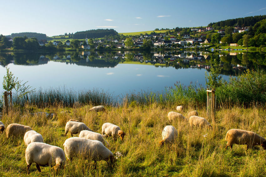 EyeEm Nature Lover Nature Reflection Schalkenmehren Schalkenmehrener Maar Animal Themes Beauty In Nature Eifel Germany Grazing Lake Landscape Maar Nature Outdoors Rhineland-palatinate Sheep Summer Vulkaneifel Water