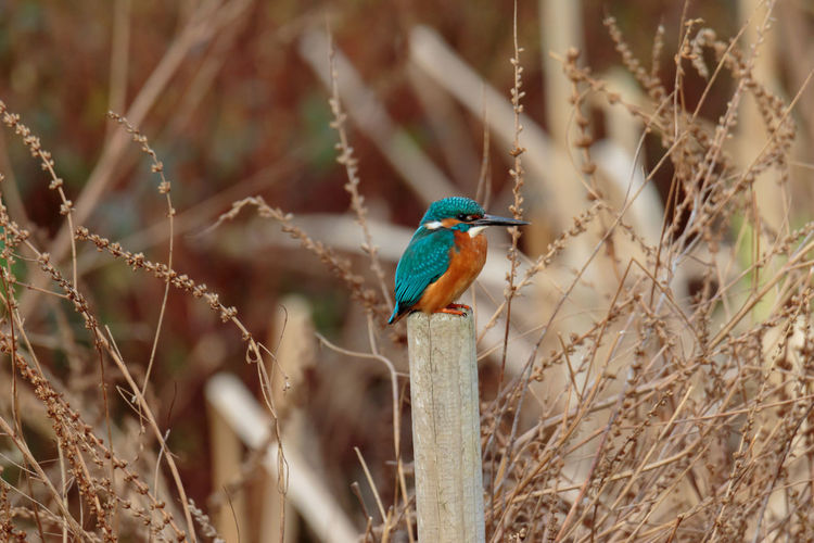 Animal Themes Animal Wildlife Animals In The Wild Beak Beauty In Nature Bird Close-up Day Focus On Foreground Kingfisher Nature No People One Animal Outdoors Perching Plant Stick - Plant Part